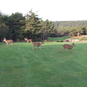 Sea Ranch Golf Links - Deer