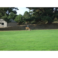 You'll see deer from the first hole on at Sea Ranch Golf Links.