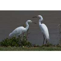 Perhaps these beautiful white cranes at The Golf Club of California are real golf fans.